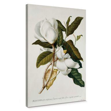 Ehret - Magnolia Canvas print