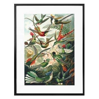 Poster Haeckel - Kolibris