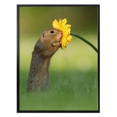 Poster Dick van Duijn - Squirrel smelling flower (portrait)