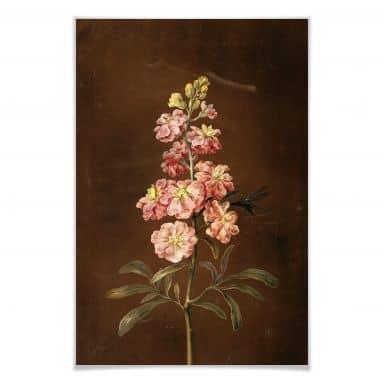 Poster Dietzsch -  Eine rosa Garten Levkkoje