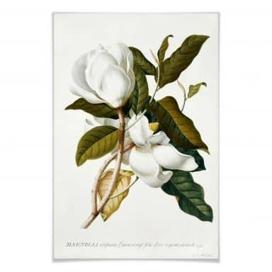 Poster Ehret - Magnolie