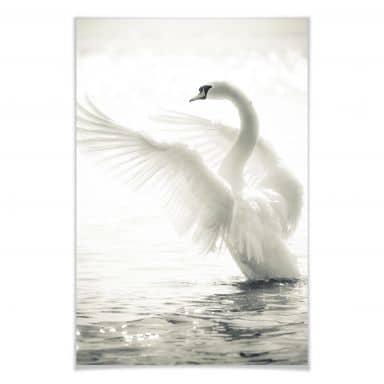 PosterMajestic swan