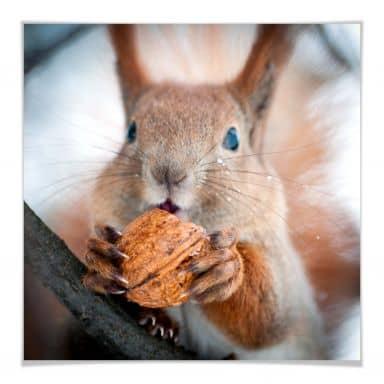 Poster Eichhörnchen mit Nuss