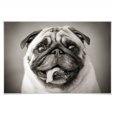 Poster of lovable Pug