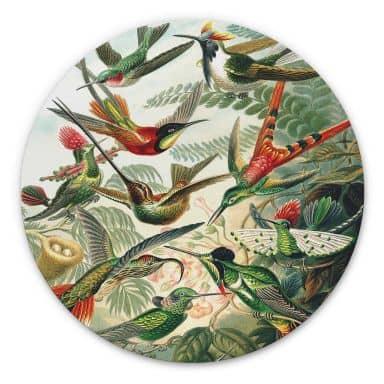 Alu-Dibond Haeckel - Kolibris - Rund