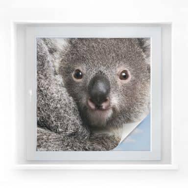 Sichtschutzfolie Cuddly Koala - quadratisch
