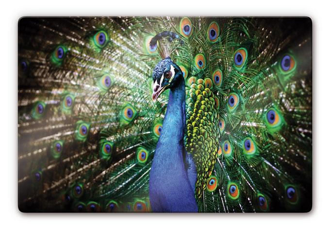 Beautiful Peacock Pain...
