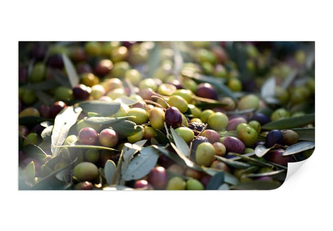 PosterMediterranean olive - Panorama