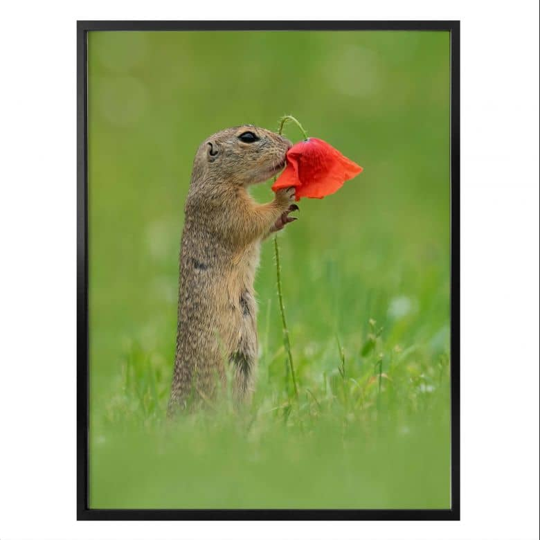 Poster Dick van Duijn - Squirrel with poppy