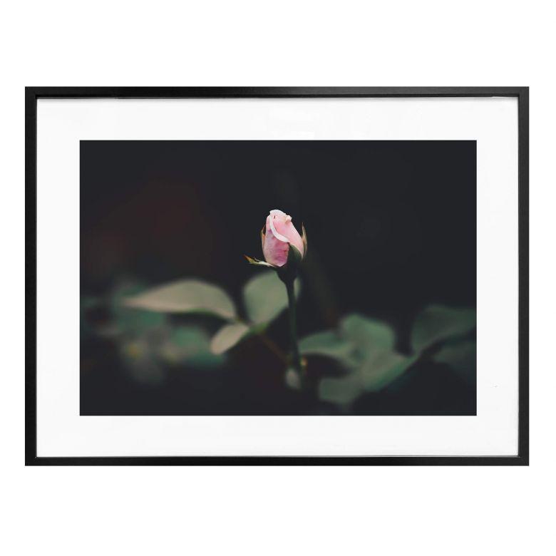Poster Blüte einer Rose