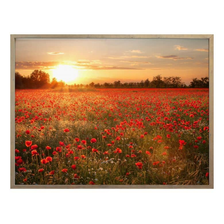 Poster field of poppies in the sunset