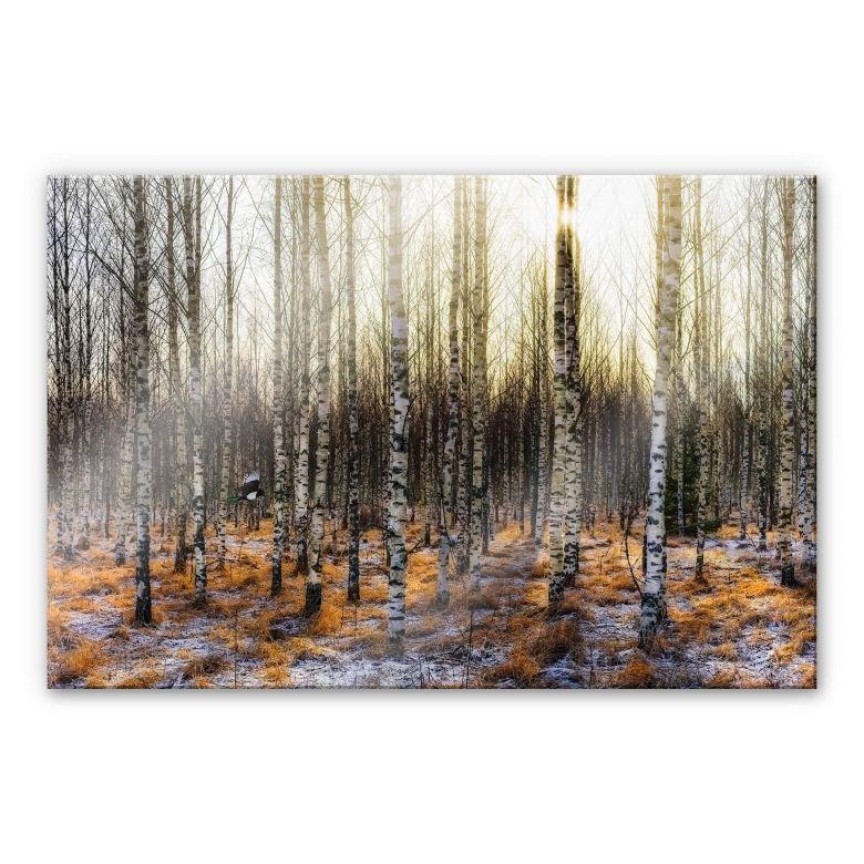 Acrylglasbild Olsen - Sonnenschein im Birkenwald