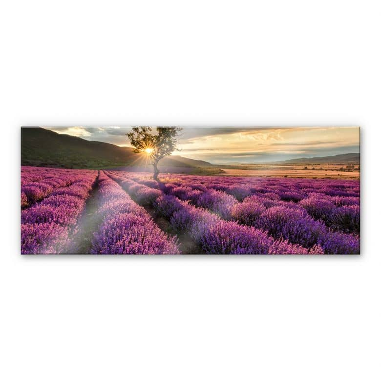 Acrylic glass Lavender blossom in the Provence - Panorama 01