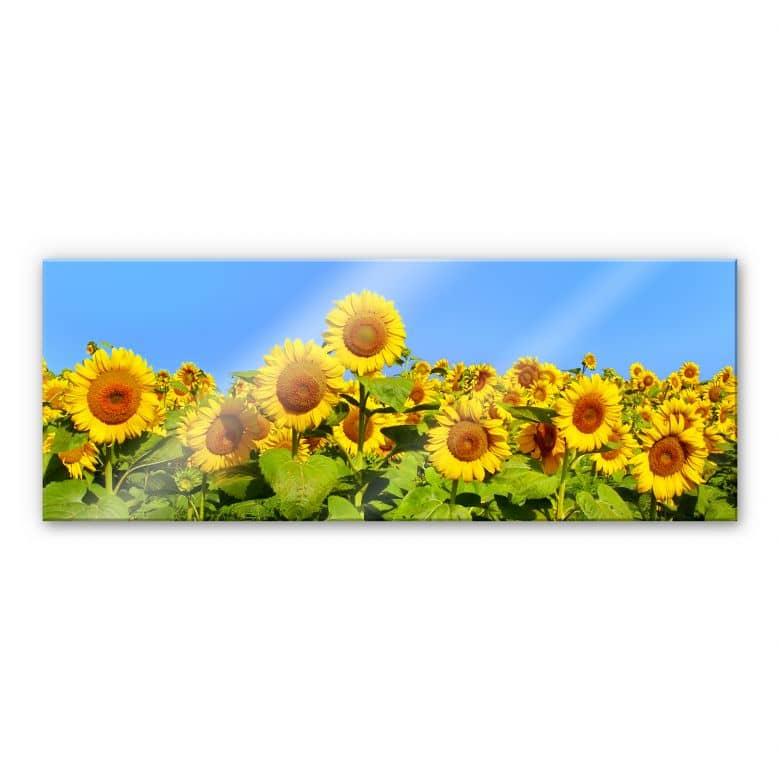 Sunflowers Field - Panorama Acrylic Glass
