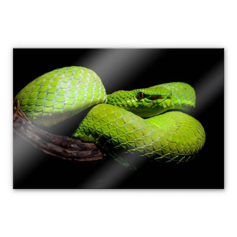 Acrylglasbild Hakonsen - Die grüne Pit-Viper