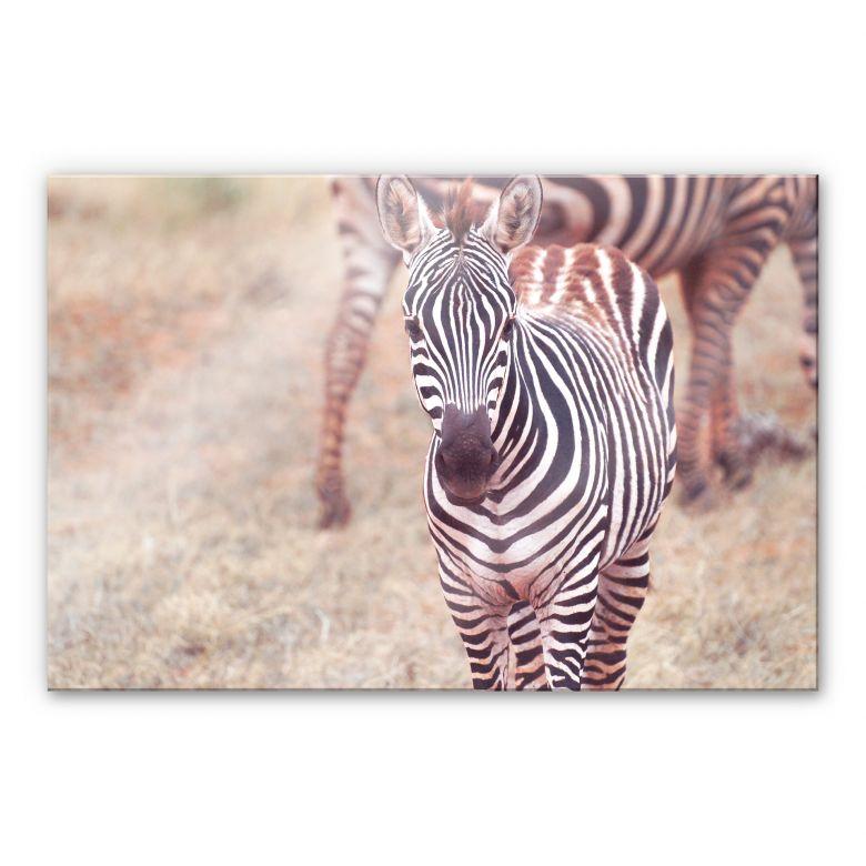 Acrylglasbild Zebra Fohlen