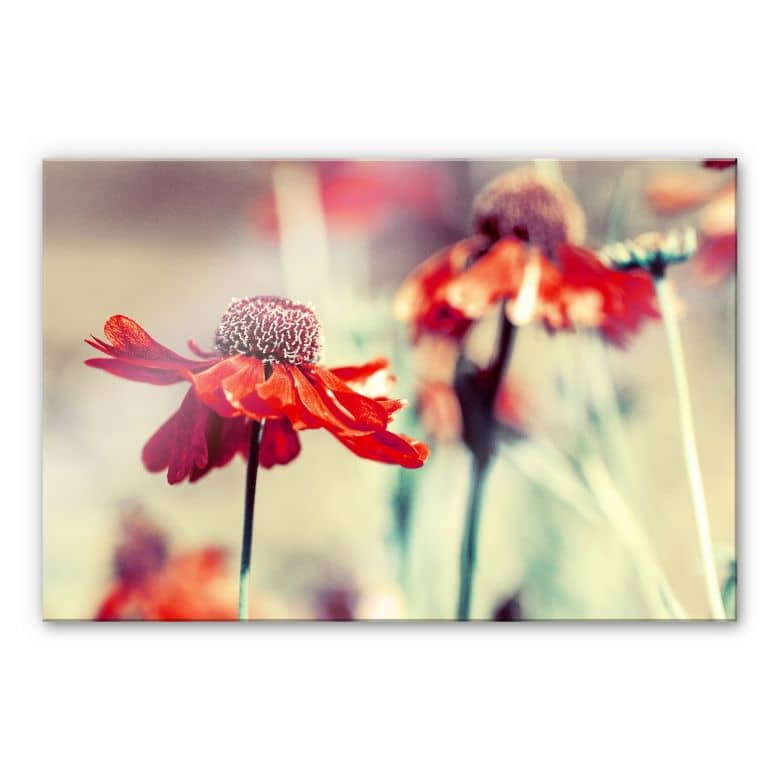 Acrylglasbild Roter Sonnenhut