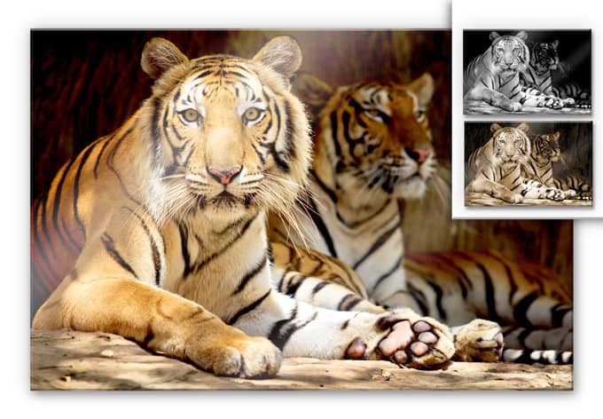 Acrylic glass Two Bengal Tiger