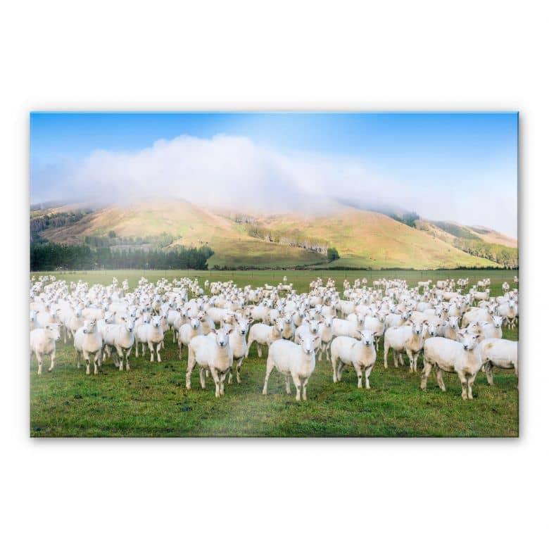 Acrylglasbild Colombo - Die Schafherde