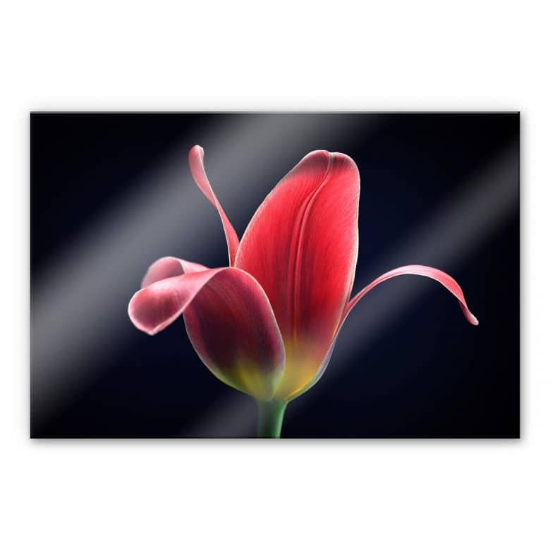 Acrylglasbild Grønkjær - First Tulip
