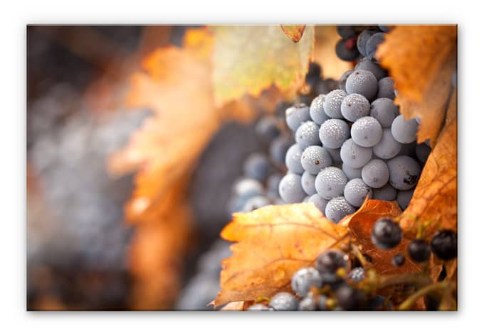 XXL Wandbild Wein im Herbst