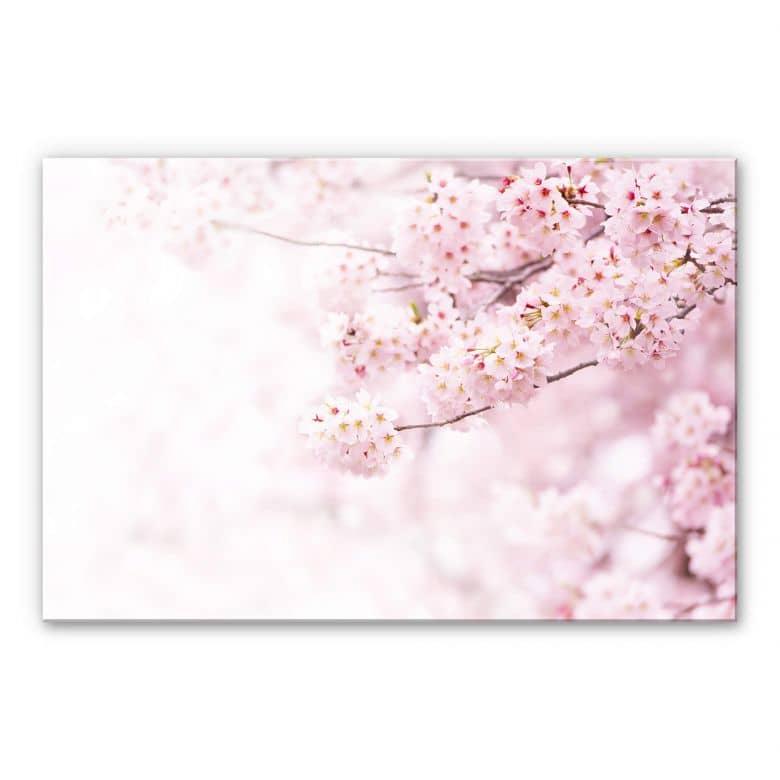 Acrylglasbild Zarte Kirschblüten