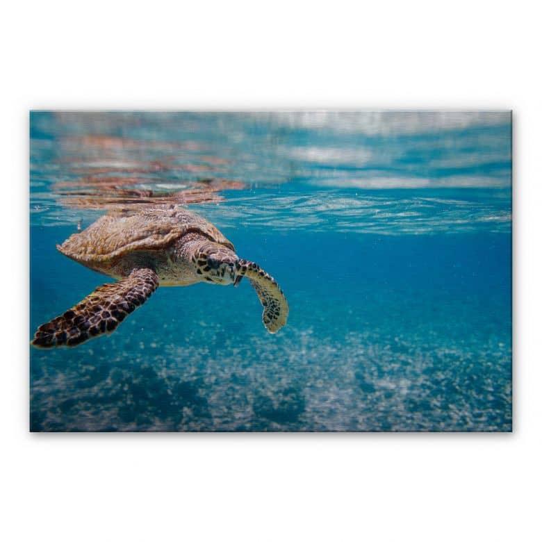 Alu-Dibond Bild Schildkröte auf Reisen