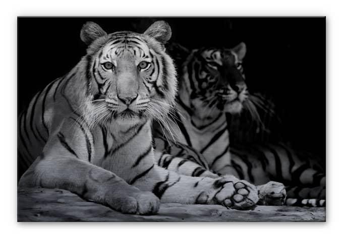 Two Royal Bengal Tiger black-white Aluminium print