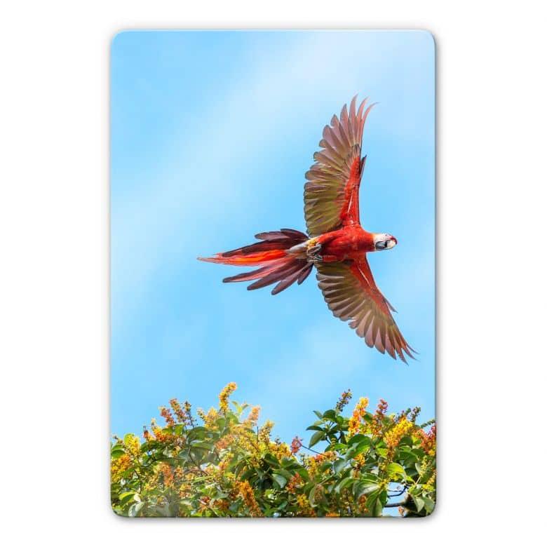 Glasbild Colombo – Papagei im Flug