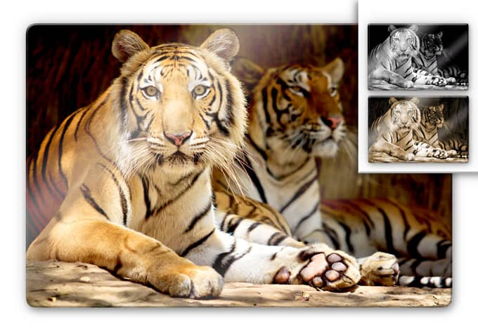 Two King Tigers Glass art