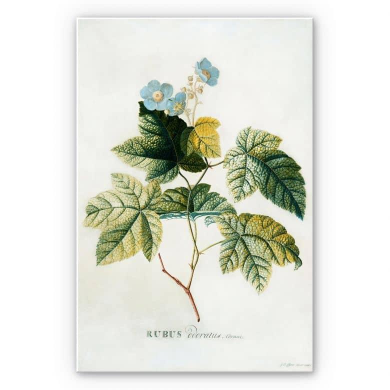 Wandbild Ehret - Rubus