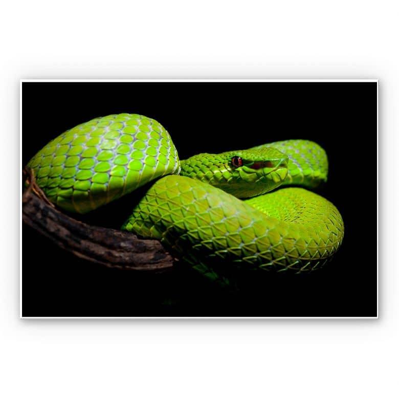 Wandbild Hakonsen - Die grüne Pit-Viper