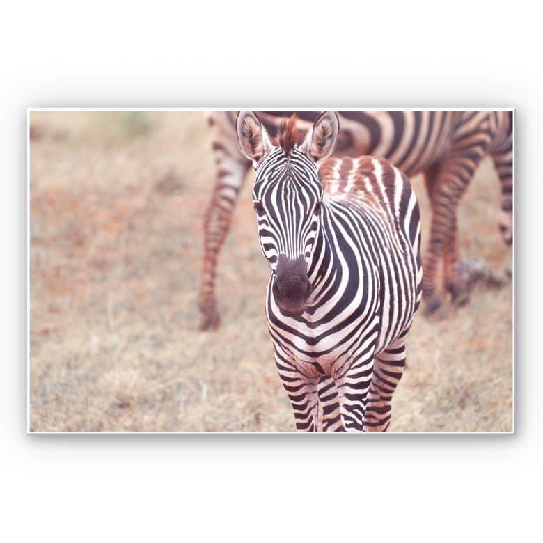 Wandbild Zebra Fohlen