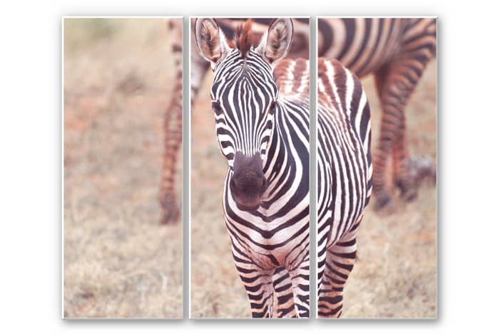 Wandbild Zebra Fohlen (3-teilig)