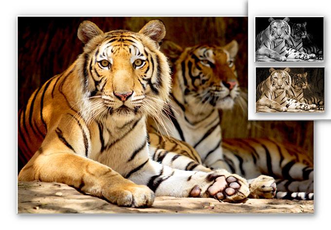 Wandbild Zwei Königstiger