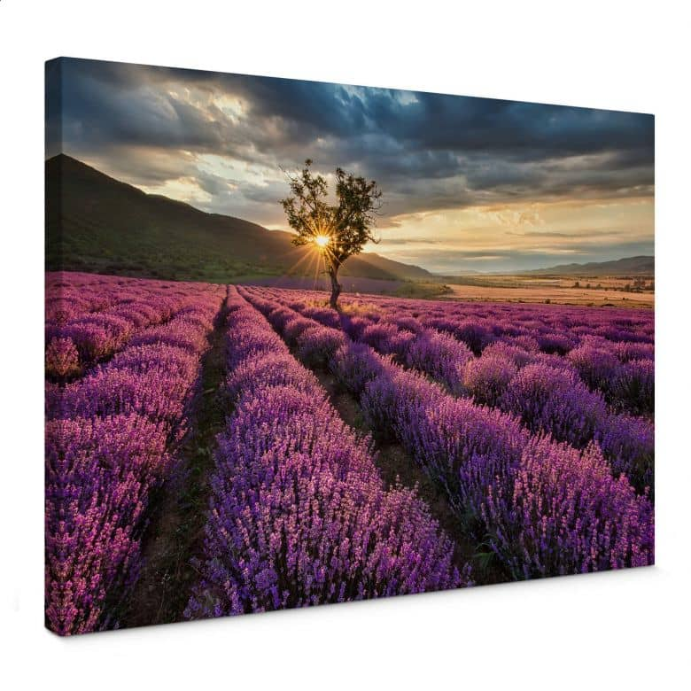 Leinwandbild Lavendelblüte in der Provence