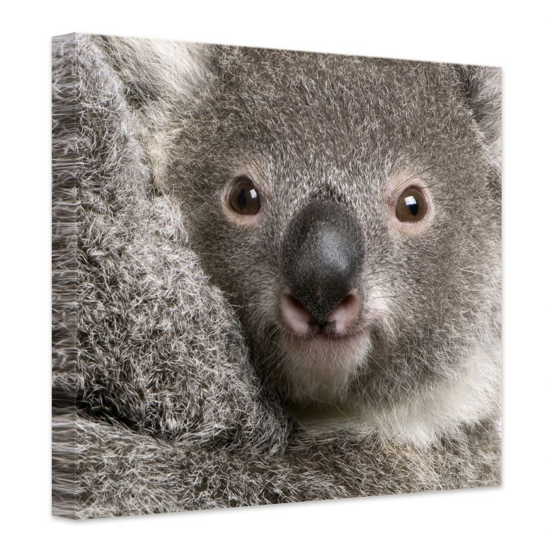 leinwand cuddly koala s e dekoration f r die wand wall. Black Bedroom Furniture Sets. Home Design Ideas