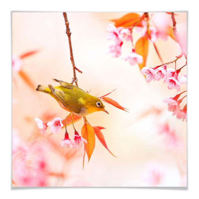 Poster Vogelgezwitscher in der Kirschblüte - quadratisch