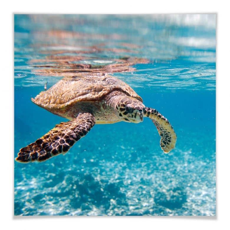 Poster Schildkröte auf Reisen - quadratisch