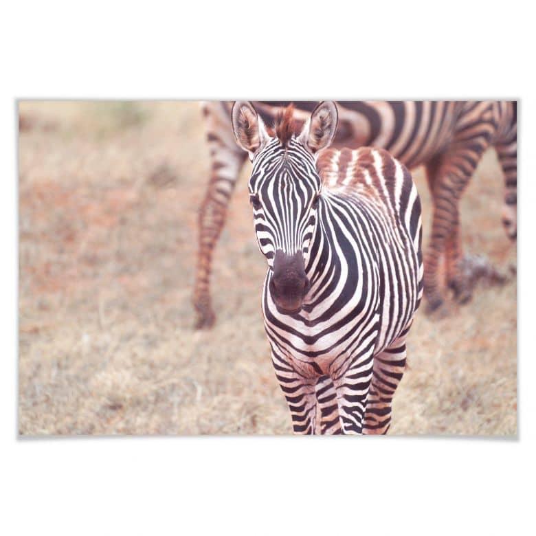 Poster Zebra-Fohlen