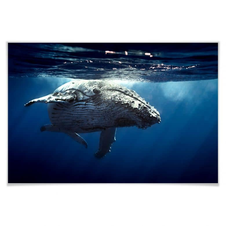 Poster humpback whale on dive