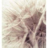 Fototapete Pusteblume Close Up