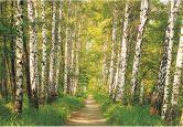 Fototapete Papiertapete Birkenwald