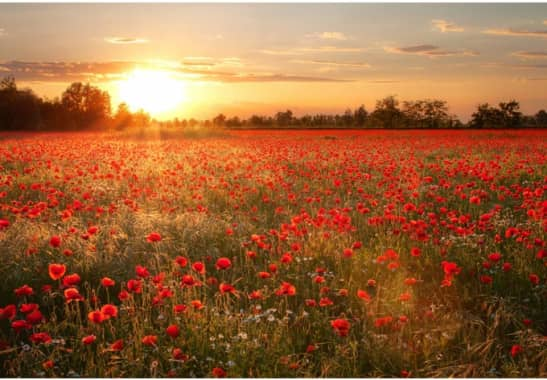Selbstklebende Tapete D?sseldorf : Fototapete Mohnfeld im Sonnenuntergang – Naturmotiv f?r Ihr Zuhause