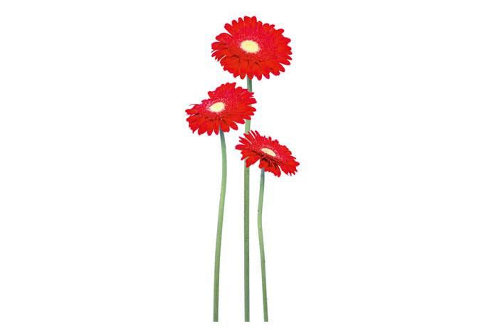 Wandtattoo Gerbera  rote Blumen für die Wandgestaltung  wallartde