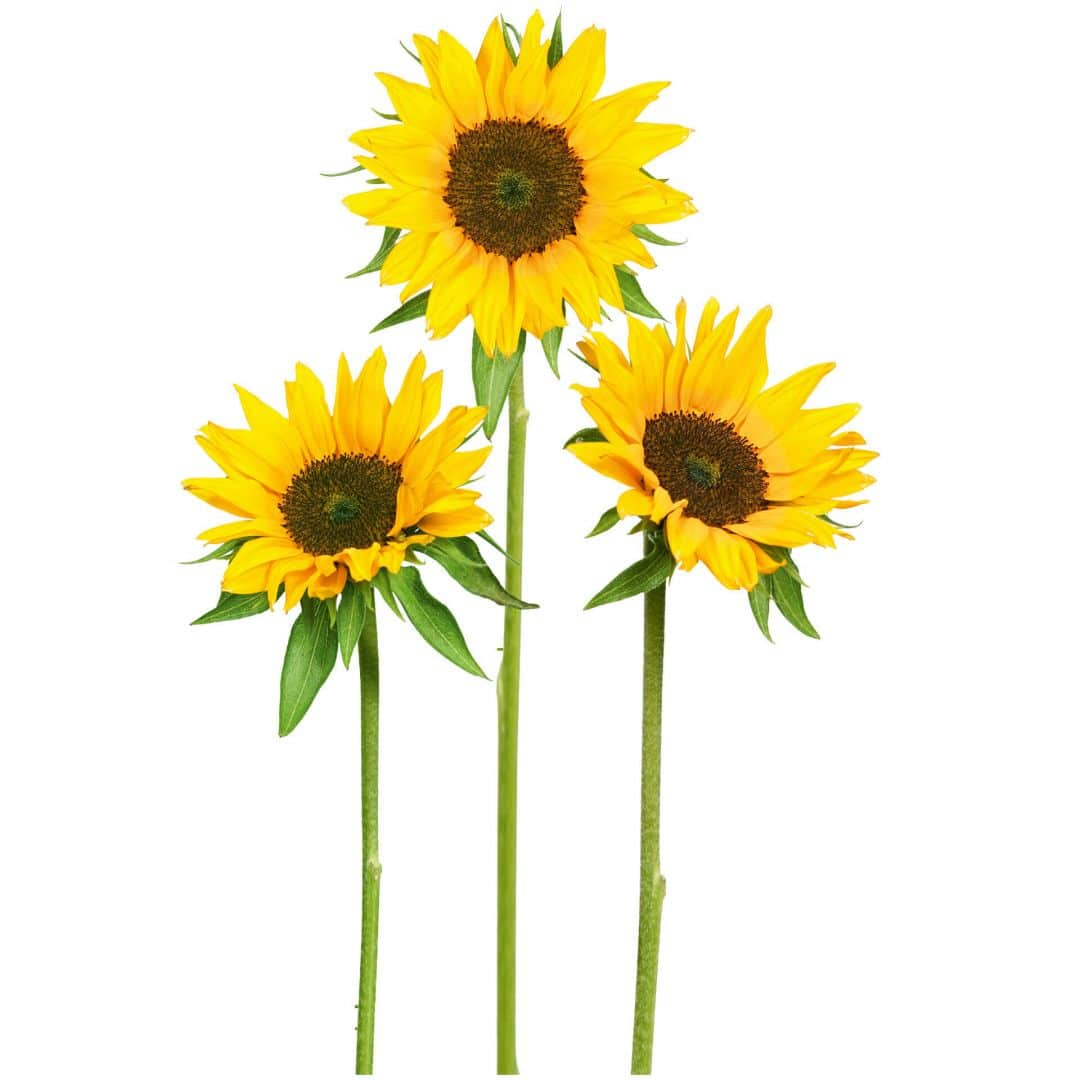 Sunflowers Wall Sticker Wall Art Com