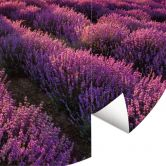 Fototapete - Lavendelblüte in der Provence