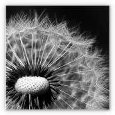 Wandbild Dandelion