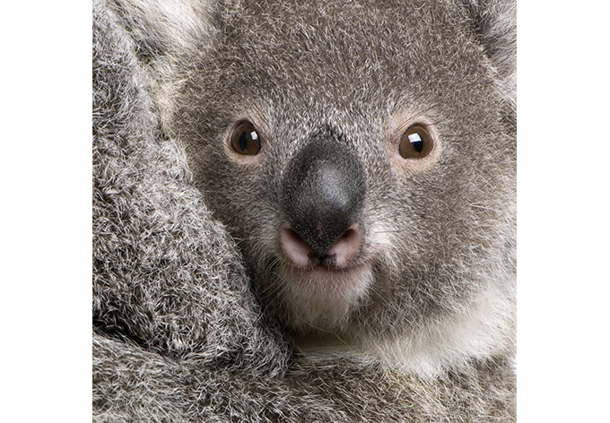 fototapete cuddly koala - niedliche dekoration für die wand | wall ... - Fototapete 250x250