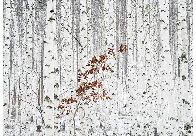 Innovativ Fototapete Han - Birkenwald | wall-art.de DY43
